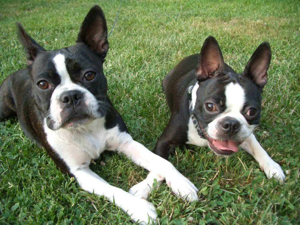 About Southern Cross Boston Terrier Rescue